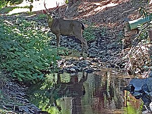 Permanente Creek - California mule deer (Odocoileus hemionus) buck straddling perennial reach of Permanente Creek between Foothill Expressway and Interstate 280. Photo taken October 8, 2016.