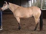 Buckskin mare left flank.jpg