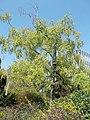 Budai Arborétum. Alsó kert. Közönséges nyír vagy bibircses nyír (Betula pendula). - Budapest.JPG