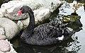 Bulgaria Black Swan 05.jpg