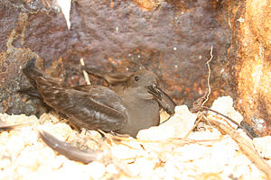 Bulwer's petrel - Roosting in a sea wall on Tern Island