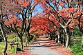 Bunkyou Koishikawa Botanical Acer Palmatum 1.JPG