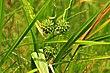 Bur-reed (Sparganium eurycarpum) Sand Lake Wetland Management District 01 (14385334072).jpg