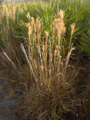 Bushy-Bluestem (5625159477).png