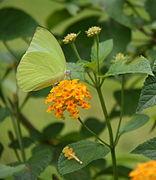 ButterflyonLantana.jpg