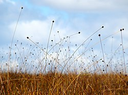 Button-grass-on-Pelion-Plains.jpg
