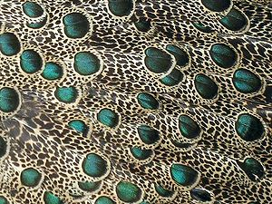 """Malayan peacock-pheasant - Adult male's mantle feathers with their eyespots and """"salt-and-pepper"""" pattern"""