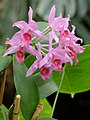 C. Pamela Hetherington x Blc. Rhapsodie 1001 Orchids.jpg