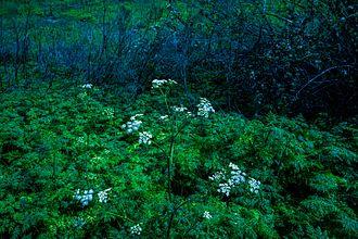 Conium maculatum - Image: C Mchino Ca