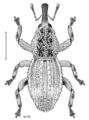 COLE Curculionidae Patellitergum recticostre.png