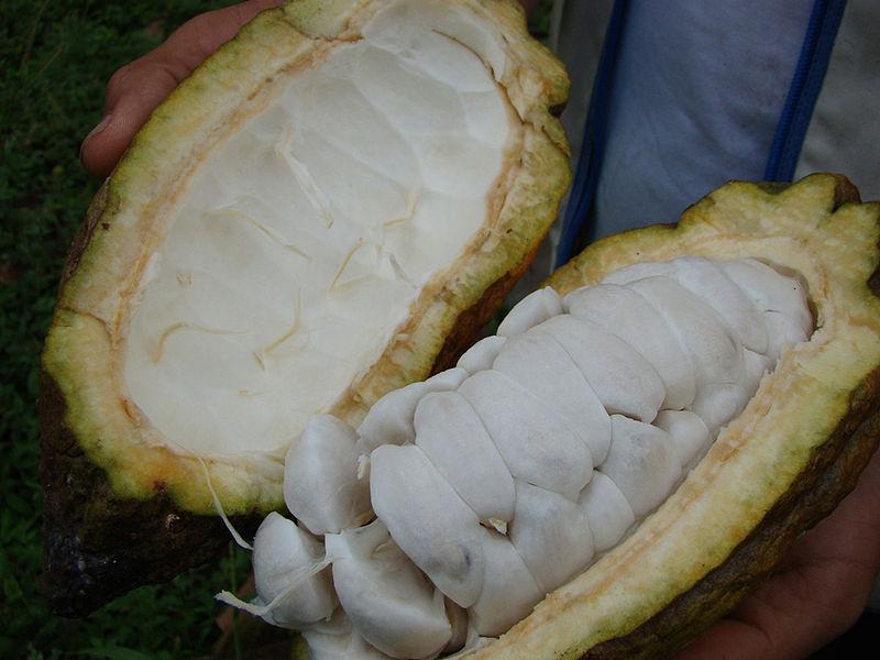 Arbol de Cacao producto principal de San Vicente de Chucurí.