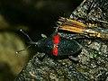 Cactophagus sanguinolentus 2.jpg