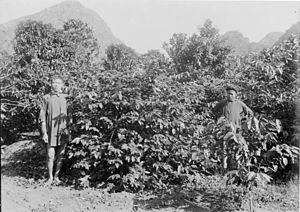 Coffee production in Vietnam - Coffee trees on the Cressonnière plantation, near Kécheu. 1898