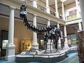 Calco de Diplodocus Museo Ciencias Naturales La Plata.JPG