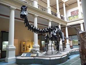 La Plata Museum - Copy of a Diplodocus fossil at the La Plata Museum