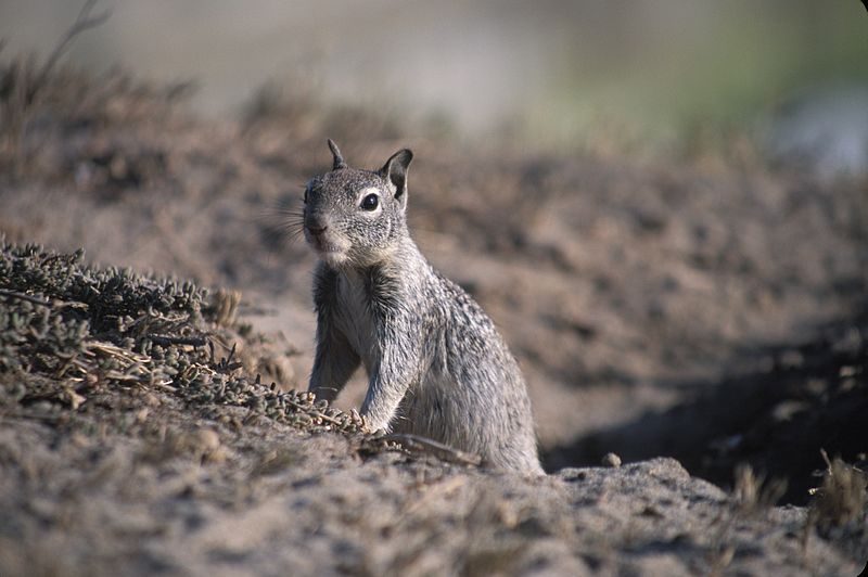 http://commons.wikimedia.org/wiki/File:California_Ground_Squirrel_and_burrow.jpg (wikipedia commons ground squirrel)