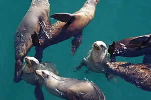 Californian Sea Lions (16141828989).jpg