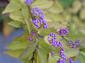 Callicarpa dichotoma, fruit 02.jpg