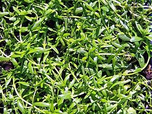 Callitriche palustris.jpg