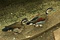 Callonetta leucophrys at the Denver Zoo-2012 03 12 0918.jpg