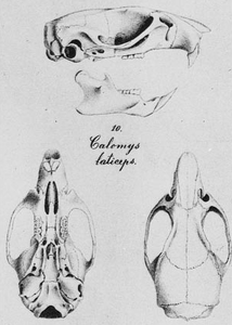 Calomys laticeps Winge.png