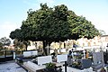 Camélia japónica no Cemitério de Agrela - 15.jpg