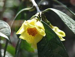 HOA VÀ THƠ 250px-Camellia_chrysantha