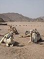 Camels (2428401459).jpg