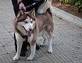Caminata por los perros y animales Maracaibo 2012 (17).jpg