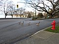 Canadian Geese crossing at Bidwell and Beach Avenue - panoramio.jpg