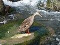 Canard colvert femelle 01.jpg