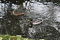 Canards Chalouette Étampes 2.jpg
