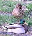 Cane canard colverts.jpg