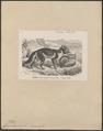 Canis lagopus - 1700-1880 - Print - Iconographia Zoologica - Special Collections University of Amsterdam - UBA01 IZ22200285.tif