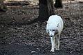 Canis lupus arctos IMG 9094.jpg