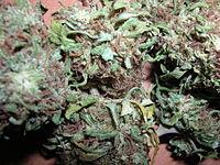 Culture du cannabis floraison wikilivres for Engrais floraison cannabis exterieur