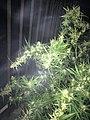 Cannabis tree.8.jpg