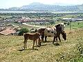 Cantabria Cicero caballos lou.JPG