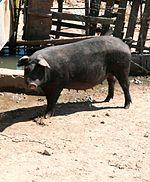 78+ Gambar Babi Tamworth Paling Keren