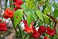 Capsicum frutescens (Tabasco) 2.JPG