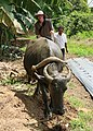 Carabao at Bohol 2017 k.jpg