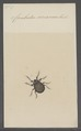 Carabodes - Print - Iconographia Zoologica - Special Collections University of Amsterdam - UBAINV0274 072 05 0019.tif
