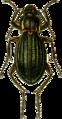 Carabus amoenus Jacobson.png