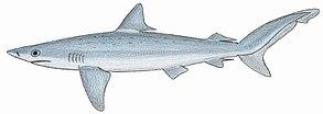 Atlantischer Nachthai (Carcharhinus signatus)