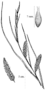 Carex hyalinolepis drawing 2.png