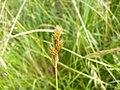 Carex ovalis inflorescens (01).jpg