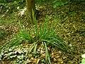 Carex pendula plant (34).jpg