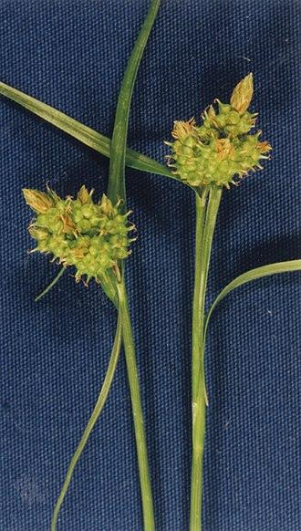 Cyperaceae - Carex serotina