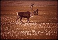 "Caribou in ""Alaska Cotton"", a Plant Found in Marshy Areas Along Entire 789-Mile Route of the Alaska Pipeline 08-1973 (3971193231).jpg"
