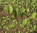 Carpinus betulus L. Charme JdP.jpg